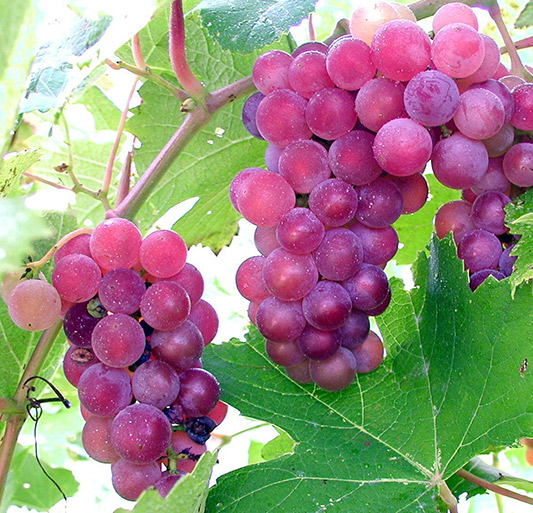 viticulture - grapes photo