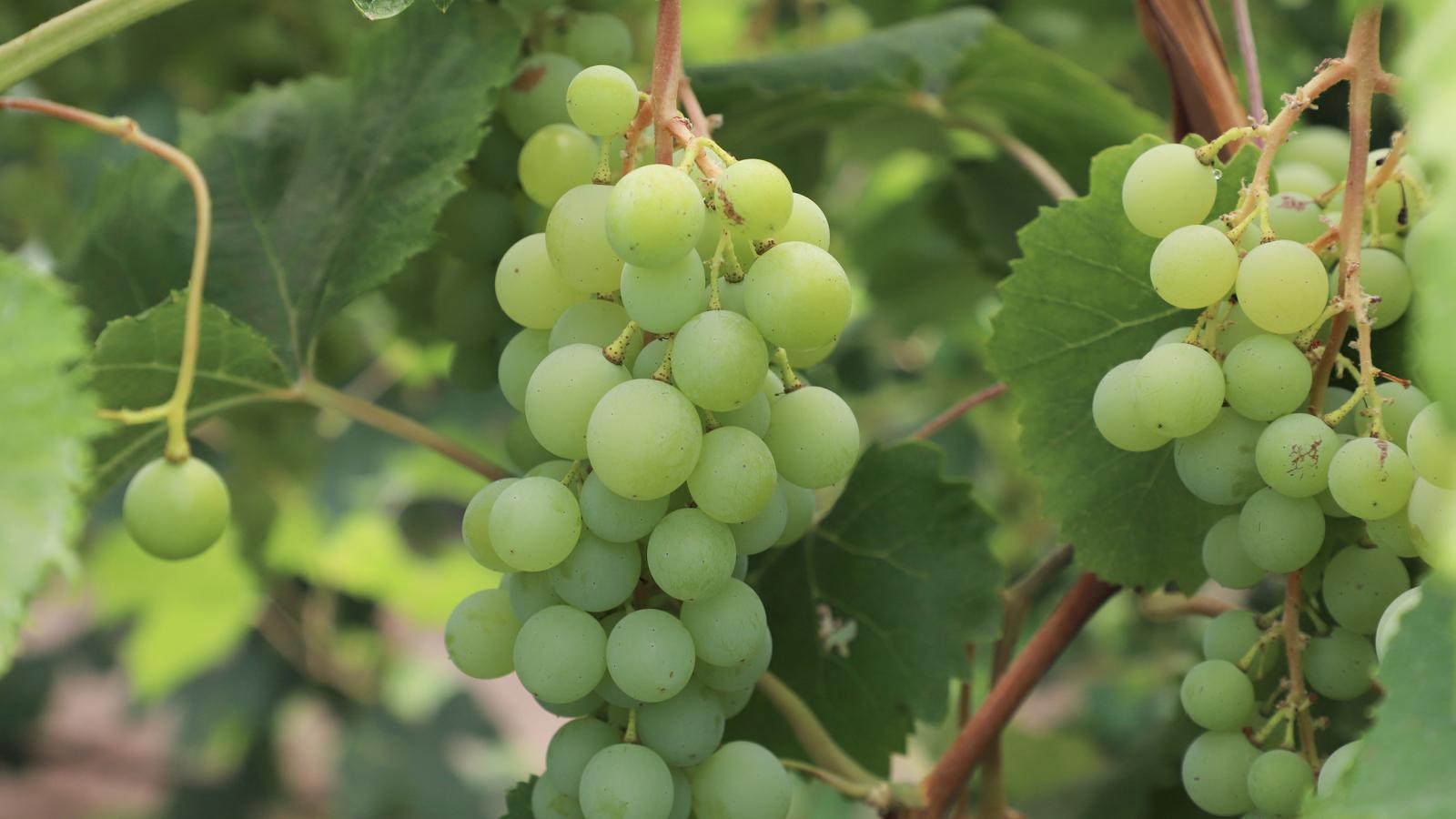 Viticulture Program